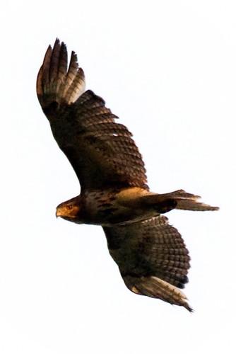 bird eyecontact hawk raptor birdofprey redtailedhawk