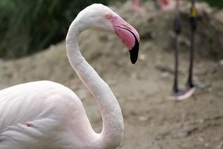 Flamingo | by helmchenx