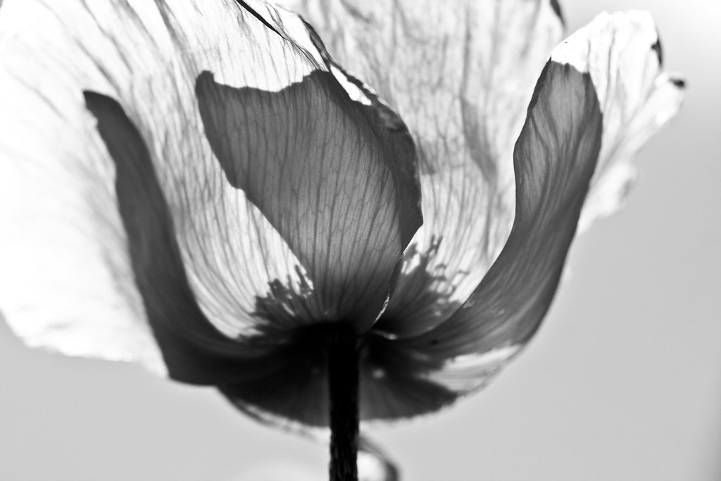 Black And White Poppy Rachel Baker Flickr