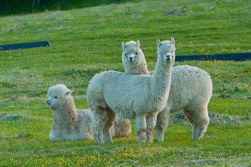 Alpacas | by SkyFireXII