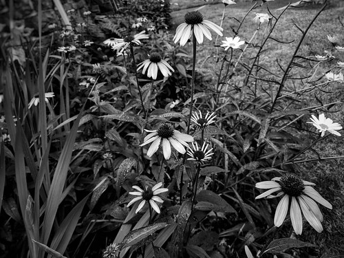 blackandwhite coneflower echinacea summerflowers outdoors ilovesummer flowerhead highangleview nopeople beautyinnature flower rainyday