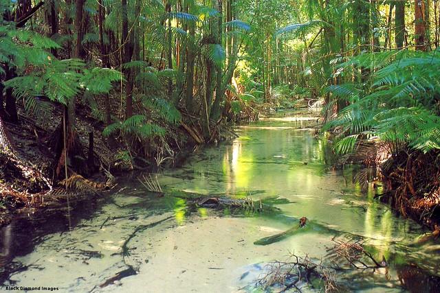 Wanggoolba Creek Central Station Fraser Island - K'Gari (Aboriginal Name) - Angiopteris evecta - Giant Fern, Mules-foot Fern and Archontophoenix cuninghamiana - Bangalow Palm