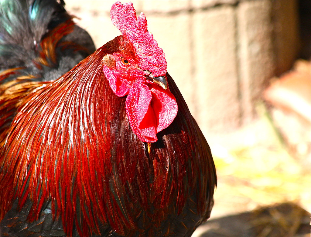 Stolzer Hahn/Proud rooster | Auf dem Hühnerhof der Gockel