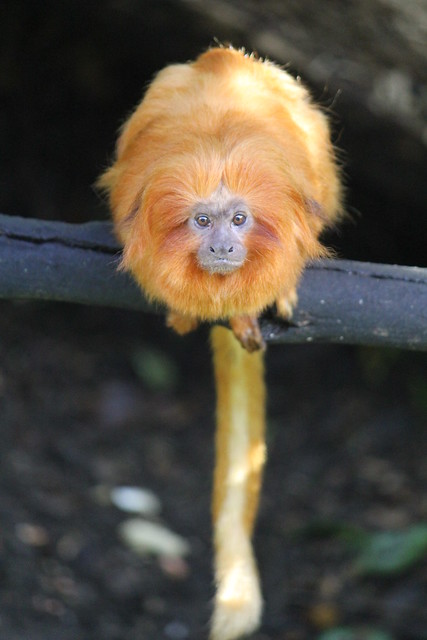 Gibbon Monkey, Auckland Zoo