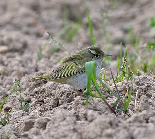 Eastern Crowned Warbler,   Eastern Crowned Leaf Warbler, Phylloscopus coronatus, | by Graham Ekins