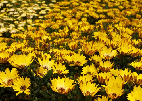 Yellow flowers - 550d eos canon | by @Doug88888