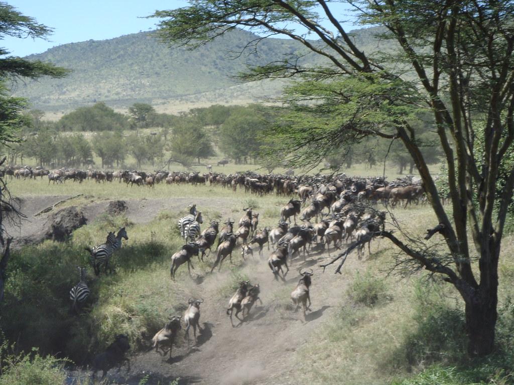 Wildebeest Migration Serengeti 14