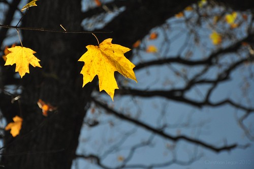 blue sky sunlight black tree leaves sunshine silhouette yellow forest golden leaf maple oak woods bokeh branches bark