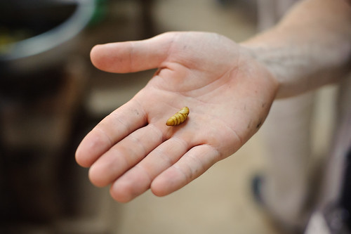 Silkworm Pupa | by goingslowly