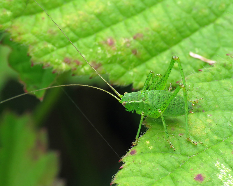 Speckled Bush-cricket - Leptophyes punctatissima