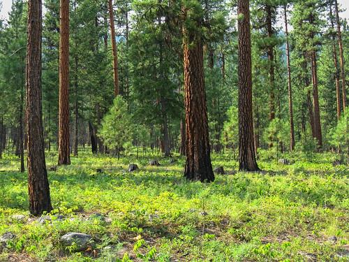 Thinned Ponderosa Pine | by Joe Rocchio