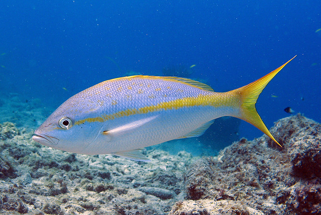 Yellowtail snapper, Curacao | At the Tugboat wreck  | Flickr