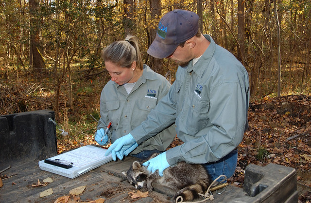 USDA Wildlife Services rabies biologists take a tissue sample from an anesthetized raccoon