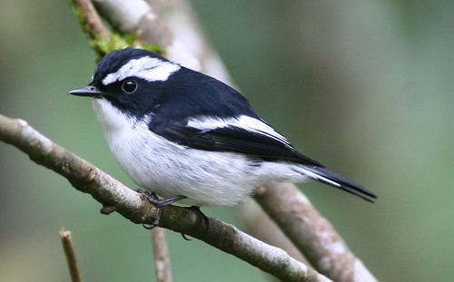 Little Pied Flycatcher | by Wade Strickland