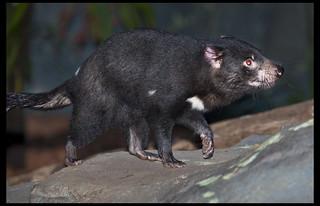 Tasmanian Devil constant walking-1& | by Sheba_Also 15.6 Million Views