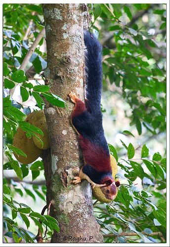 Malabar Giant Squirrel | by RaghuP