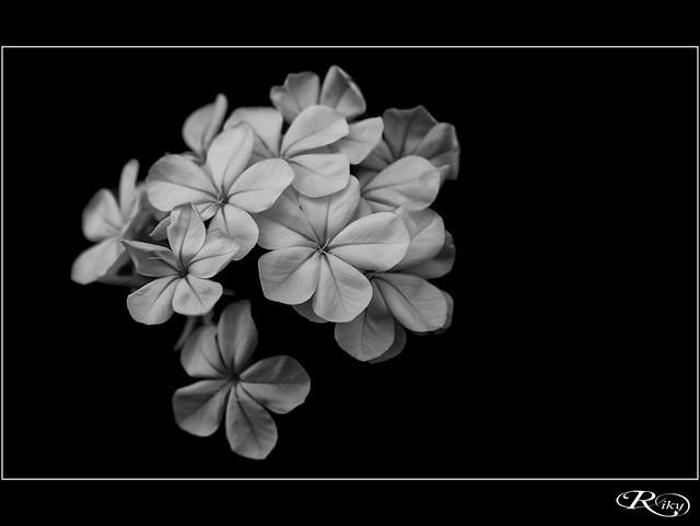 :: Flores B/N ::