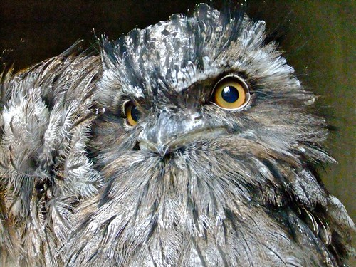 Tawny Frogmouth | by P. Stubbs photo