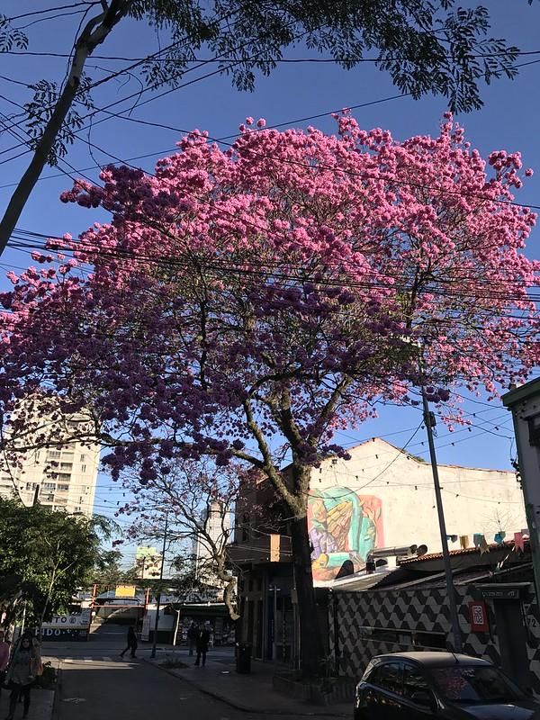 The pink trumpet tree, São Paulo (winter), Brazil.