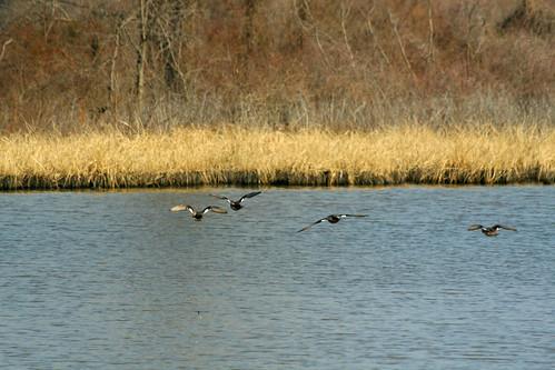 oklahoma action flight ducks sequoyahnationalwildliferefuge