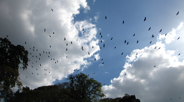 summit of the american black vulture