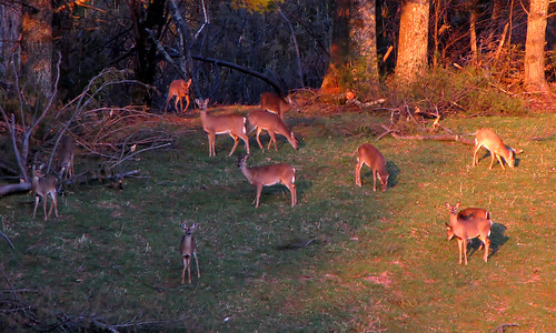 landscape march spring northcarolina deer landschaft blueridgeparkway whitetail whitetaileddeer odocoileus odocoileusvirginianus whitetaildeer westernnorthcarolina wataugacounty southernappalachians ccbyncsa canonpowershotsx10is