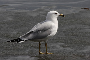 Ring-billed Gull ~ Larus delawarensis | by Kevin Kodak
