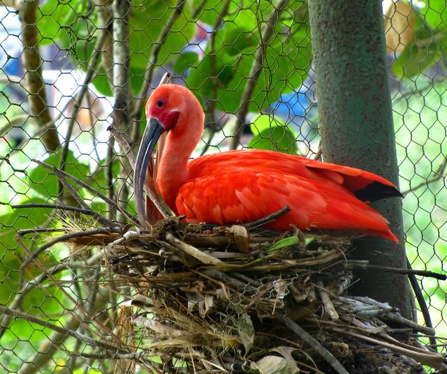 homely scarlet ibis