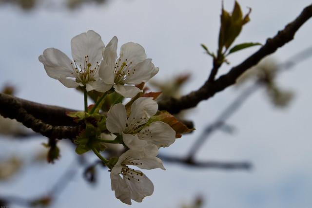 Fleur de Cerisier..