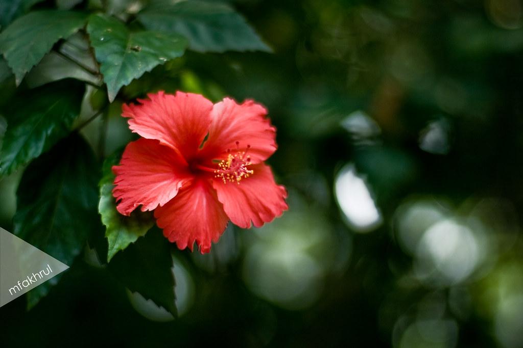 Bunga Raya Bunga Kebangsaan Malaysia Fakhrul Flickr
