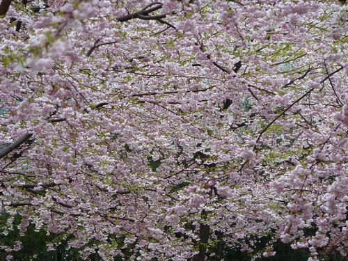 Sendai sakura   by kalleboo