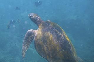 Galápagos Green Turtle (Chelonia mydas agassisi) | by bbum