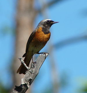 Common Redstart | by Wild Chroma