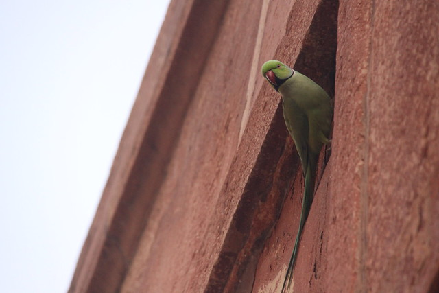 Parrot on the Great Gate, Taj Mahal