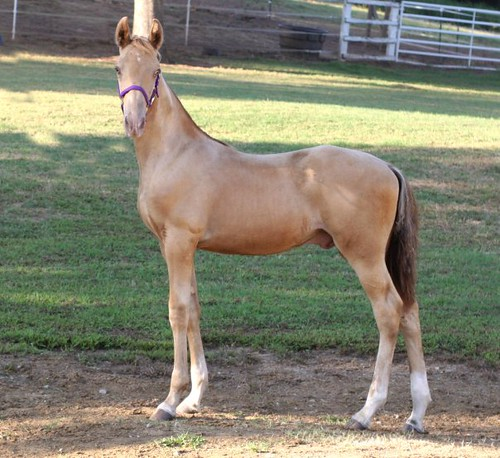Highly Intoxicated yearling | Amber champagne colt, Highly I… | Flickr