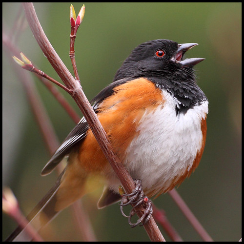 Spotted Towhee | by gainesp2003