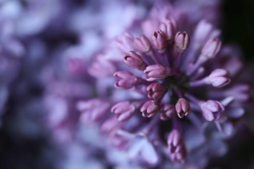 Lilac Burst