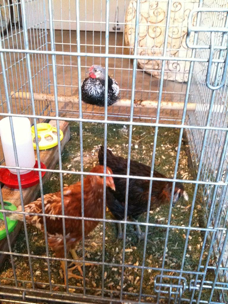 Garage chickens