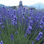 ラベンダー a lavender bush