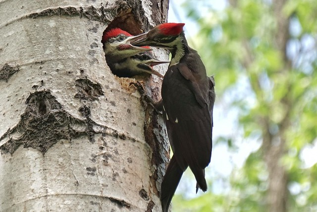 Feeding time for the pileated woodpecker brood.
