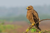 Indian spotted Eagle by Ramakrishnan R - my experiments with light