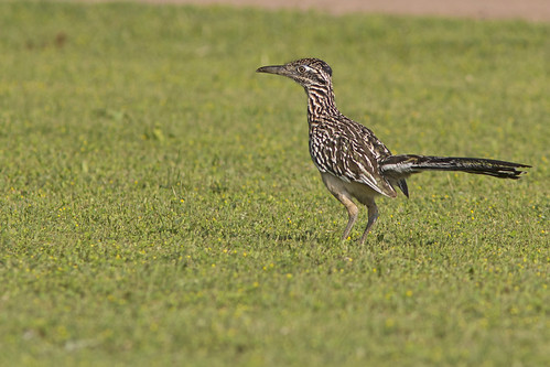 bird ave cuckoo cuco greaterroadrunner geococcyxcalifornianus correcaminosmayor