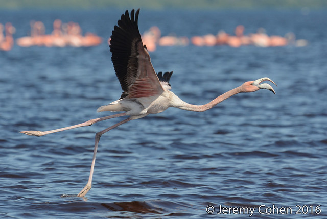 Flamingo awkwardly taking off in the wild (Phoenicopterus ruber)