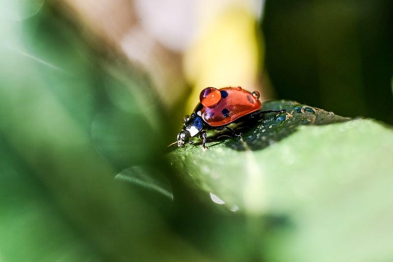 Ladybug ..