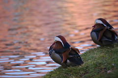 Mandarin ducks at the Orangery