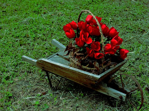 wheelbarrow display green flower floral natural nature background tulip spring colorful beauty closeup bright blossom red plant petal garden beautiful bloom flora summer vibrant fresh sun tulipsview outdoors pretty color tulipsred decoration grass bunch blossoming gardentulips redtulips