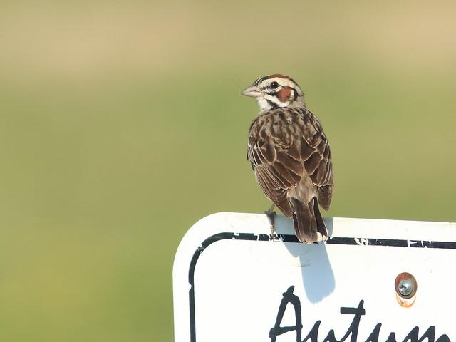 Lark Sparrow 02-20170707