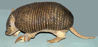 Chacoan Naked-tailed Armadillo (Cabassous chacoensis