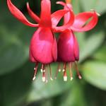Fuchsia / フクシア