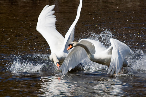 Swans fight for mate-15 | by Dr Winston O Boogie